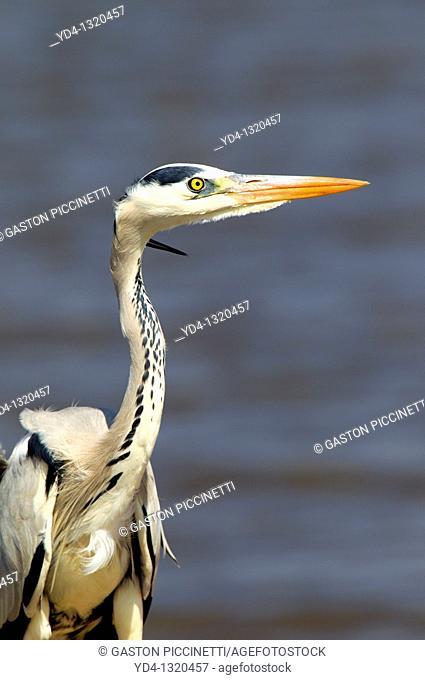 Grey heron Ardea cinerea, fishing, Kruger National Park, South Africa