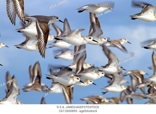 Sanderlings Calidris alba in flight March Fort Myers beach Gulf coast Florida USA