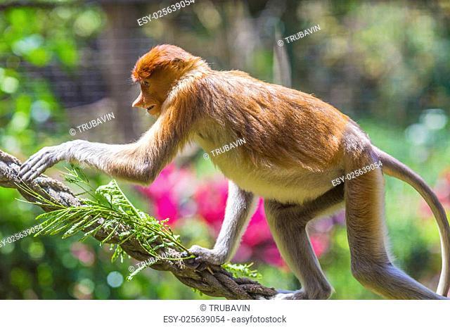 Proboscis monkey in the zoo of Kota Kinabalu, Malaysia