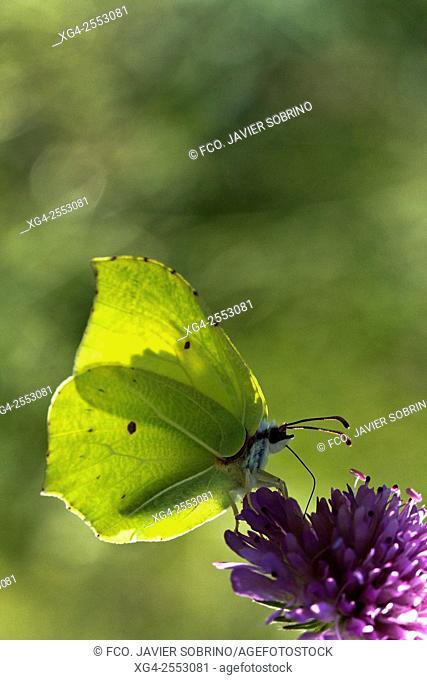 Mariposa Limonera (Gonepteryx Rhamni) en el mes de junio en las montañas de Penyagolosa - Vistabella del Maestrazgo - Alcalatén - Castellón - Comunidad...