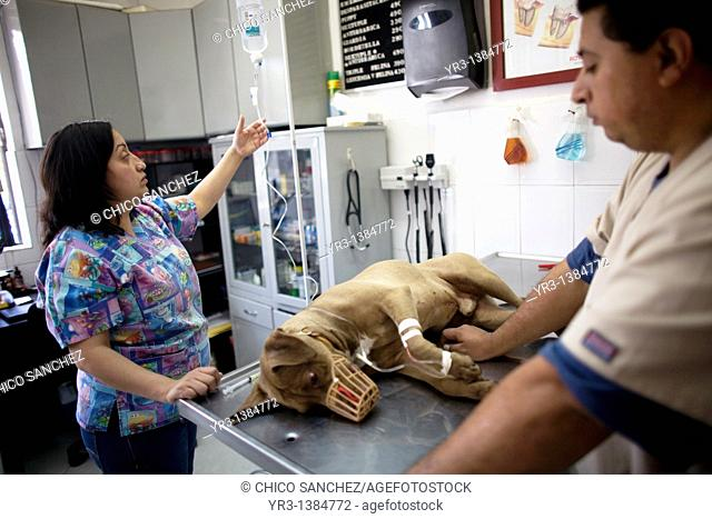 Veterinarians attend a sedated Pitbull Terrier dog at a Pet Hospital in Condesa, Mexico City, Mexico, February 4, 2011