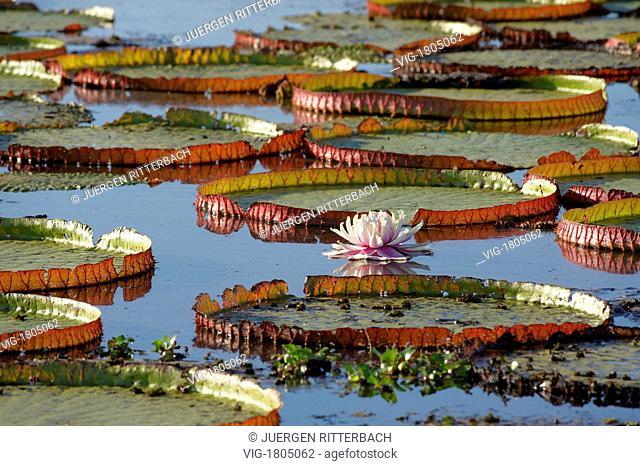 BRASIL, PANTANAL, PORTO JOFRE, 07.08.2009, Giant Water Lily or Victoria Water lily, Victoria cruziana, Pantanal, MATO GROSSO, Brasil, South America - PANTANAL