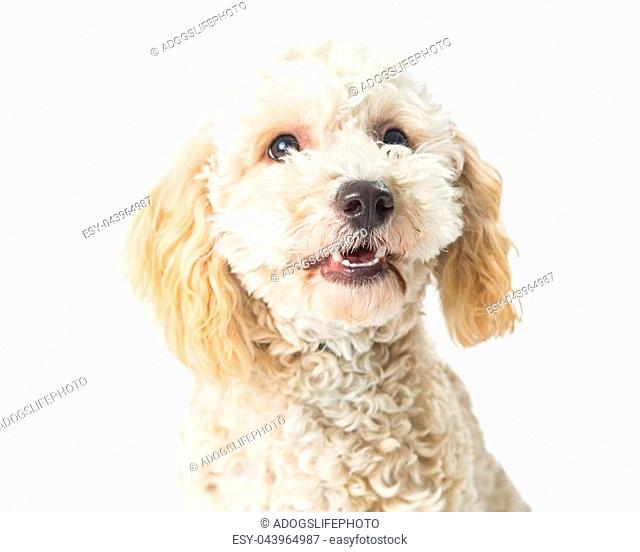 Closeup cute small poodle crossbreed dog with happy smiling expression