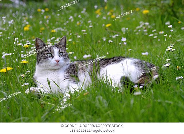 Domestic cat, Tabby and white lying in meadow in Spring