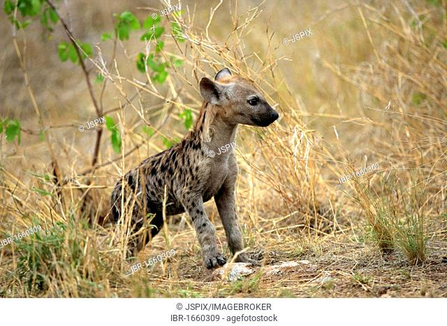 Spotted Hyena (Crocuta crocuta), cub, Kruger National Park, South Africa, Africa