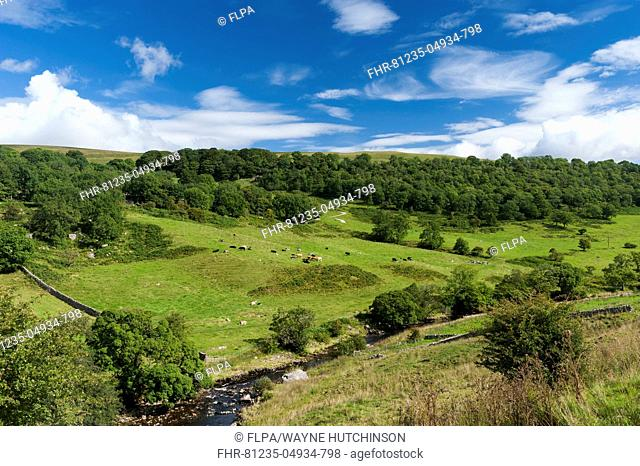 View of river, pasture with cattle and woodland in late summer, near Starbotton, Upper Wharfedale, Yorkshire Dales N.P., North Yorkshire, England, September