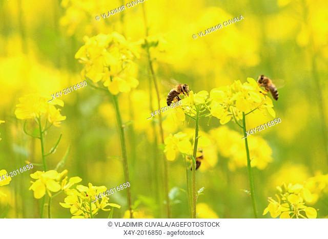 The European honey bees (Apis mellifera) collecting nectar on the flowers of White mustard plants(Sinapis alba). Location: Male Karpaty, Slovakia