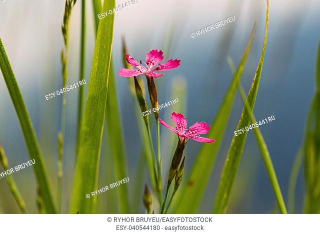 Gomel, Belarus. Blooming In Green Grass Wildflowers Meadow Carnations, Dianthus Pratensis Or Dianthus Chloroleucus In Summer Field At Sunset Sunrise