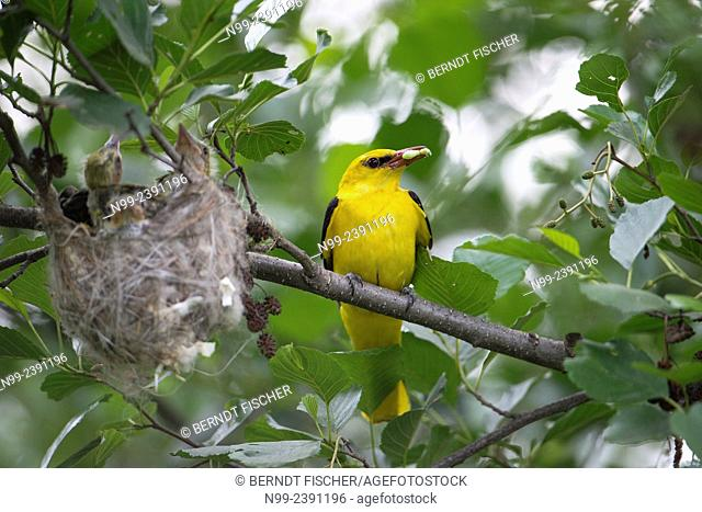 Golden oriole (Oriolus oriolus), male beside the nest, Bulgaria