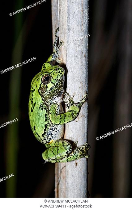 Male Gray Tree Frog (Hyla versicolor) during spring breeding season in Muskoka near Rosseau, Ontario, Canada