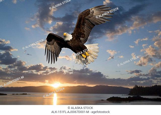 Bald Eagle in flight at sunset Tongass National Forest Inside Passage Admiralty Island Frederik Sound southeast Alaska summer Composite