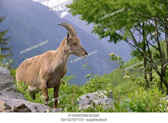 Profile female Alpine ibex (Capra ibex) in the mountains of the Alps from around chamonix-Mont-blanc in France