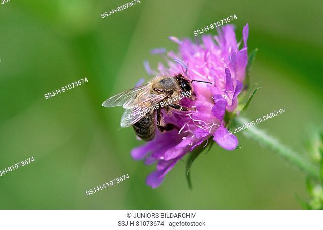 European Honey Bee, Western Honey Bee (Apis mellifera, Apis mellifica). Worker Knautia flower (Knautia sylvatica). Germany