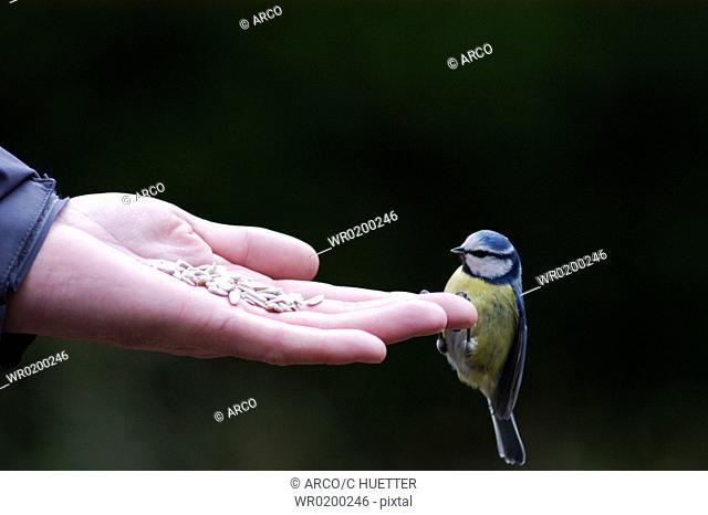 Blue, Tit, on, human, hand, North, Rhine-Westphalia, Germany,Parus, caeruleus