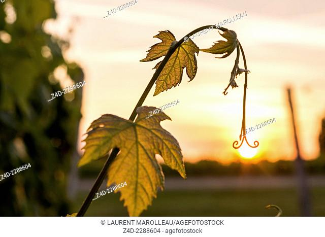 Leaves of Grapevine in the Chinon's vineyards. Chinon, Indre-et-Loire, Centre region, Loire Valley, France, Europe