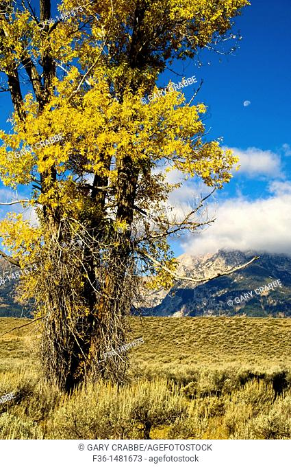 Moon over mountains and golden leaves on Cottonwood tree in fall, Grand Teton National Park, Wyoming
