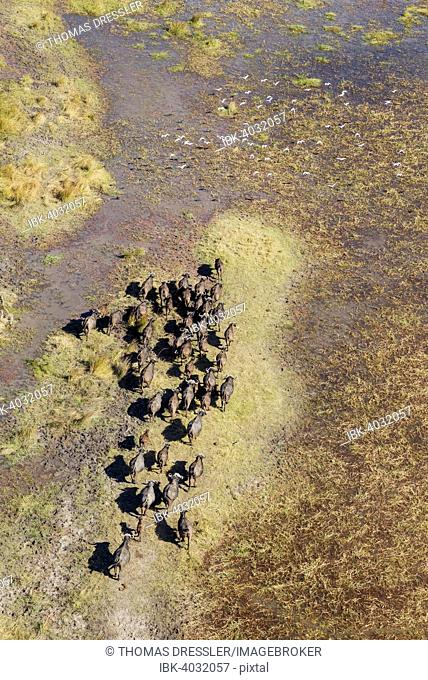 Cape Buffaloes (Syncerus caffer caffer), roaming herd in a freshwater marsh, flying Cattle Egrets (Bubulcus ibis), Okavango Delta, Botswana