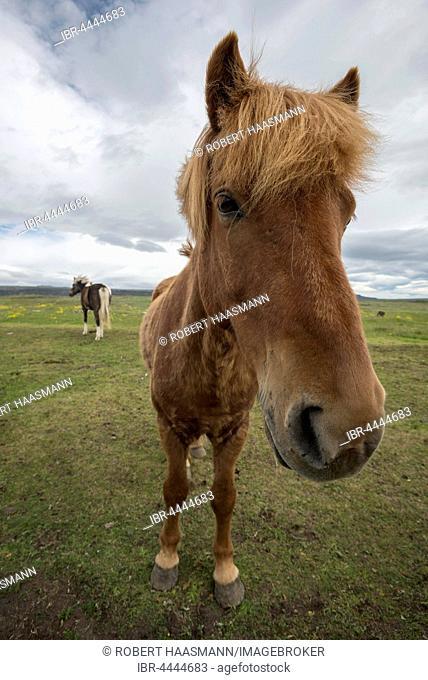 Icelandic horse, pony, Iceland