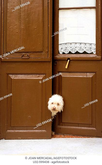 White dog looking behind a brown door in a street of Ciutadella, Menorca. Spain