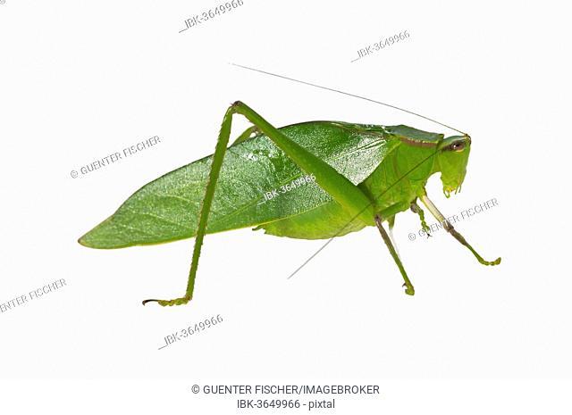 Oblong-Winged Katydid (Amblycorypha oblongifolia), green morph, male, Tambopata Nature Reserve, Madre de Dios Region, Peru