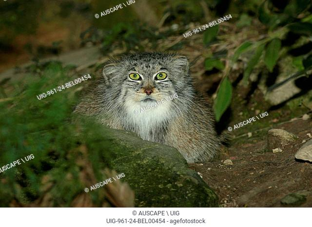 Pallas cat, Otocolobus manul, portrait. Khar Turan National Park, Semnan Province, Iran. (Photo by: Auscape/UIG)