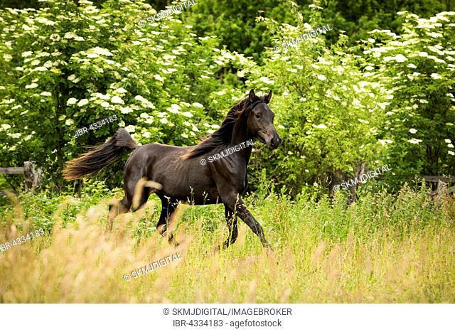 Young Arabian mare, thin horse, Lübeck, Germany