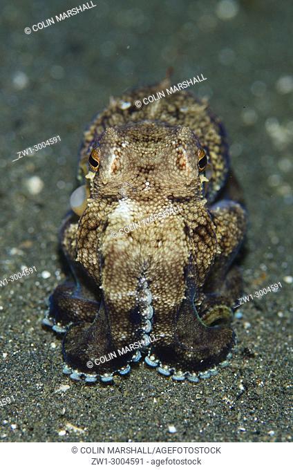 Veined Octopus (Amphioctopus marginatus), on black sand, Joleha dive site, Lembeh Straits, Sulawesi, Indonesia