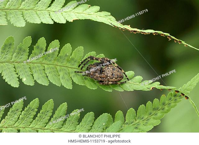 France, Araneae, Araneidae, Walnut orb-weaver (Nuctenea umbratica)