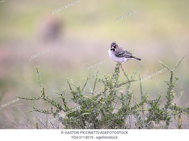 Scaly-feathered Finch (Sporopipes squamifrons), on the tree, Kgalagadi Transfrontier Park, Kalahari desert, South Africa