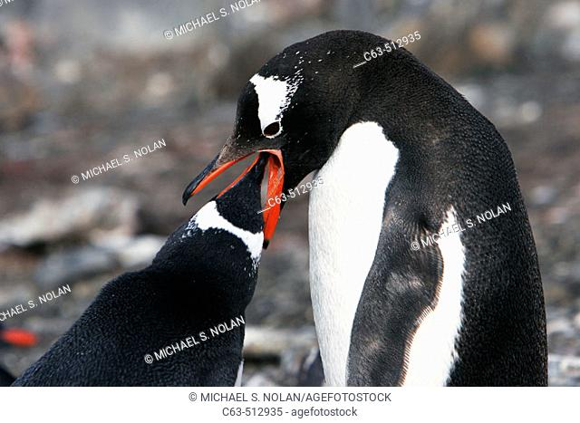 Gentoo Penguin (Pygoscelis papua) parent feeding chick in Antarctica