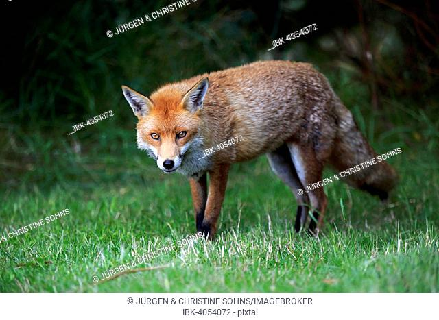 Red Fox (Vulpes vulpes), adult, alert, Surrey, England, United Kingdom