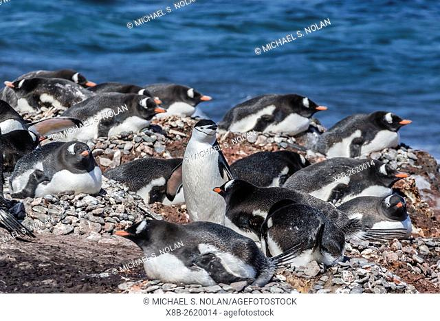 Gentoo penguins, Pygoscelis papua, surround a chinstrap penguin, Barrientos Island, Antarctica
