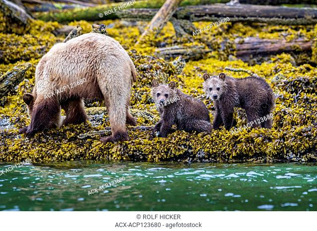 Grizzly bear sow with 2 'fresh' cubs foraging along the low tideline in Knight Inlet, First Nations Territory, British Columbia, Canada