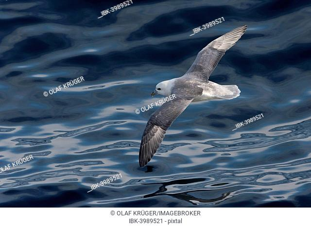Northern Fulmar (Fulmaris glacialis) in flight, clouds are reflected in the sea, Greenland
