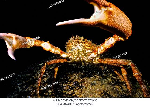 Great spider crab (Maja squinado). Eastern Atlantic. Galicia. Spain