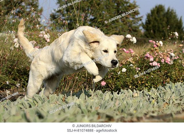 Golden Retriever. Juvenile male (5 month old) jumping over a flowerbed. Germany