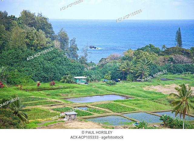 Taro root crops on Ke'anae peninsula, Maui, Hawaii
