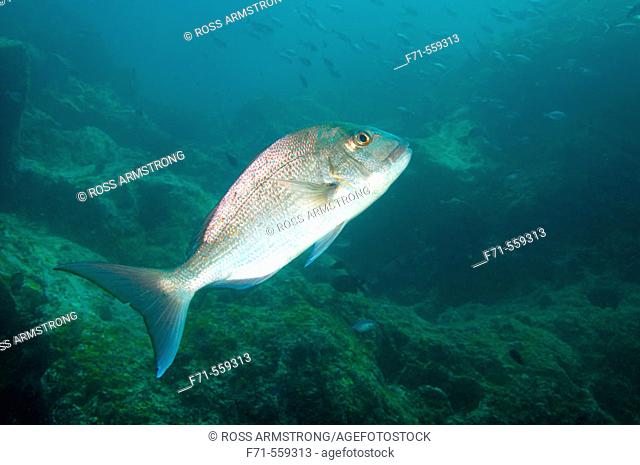 Snapper (Pargus auratus). Blue Maomao Arch. Poor Knights Islands, New Zealand. South Pacific Ocean