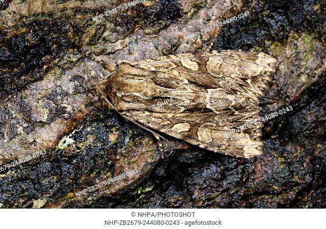 Close-up of a Dark arches moth (Apamea monoglypha) resting on pine bark in a Norfolk garden in summer