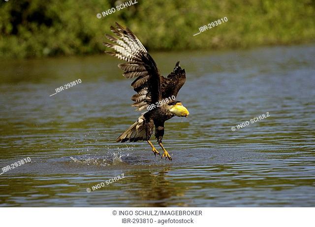 Caracara, Polyborus plancus, hunting fish in Pantanal, Brasil