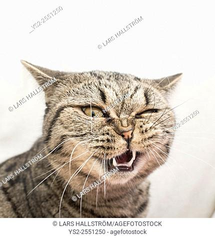 Cat with funny and crazy expression. Face of shock and disgust