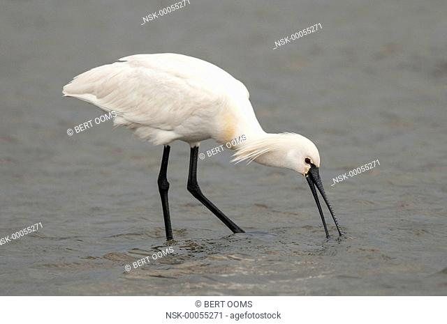 Eurasian Spoonbill (Platalea leucorodia) fishing in the shallow water on the mudflat of the Wadden Sea, The Netherlands, Friesland, Ameland