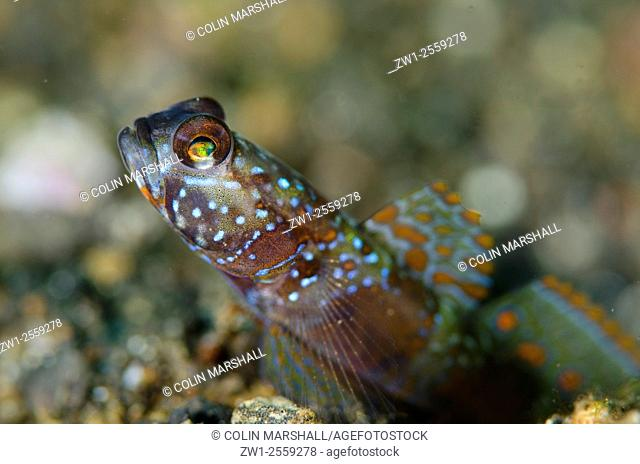 Wide-barred Goby (Amblyeleotris latifasciata) with fin extended on black sand, Bronsel dive site, Lembeh Straits, Sulawesi, Indonesia