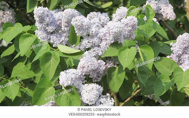 closeup of white lilac swaying in wind
