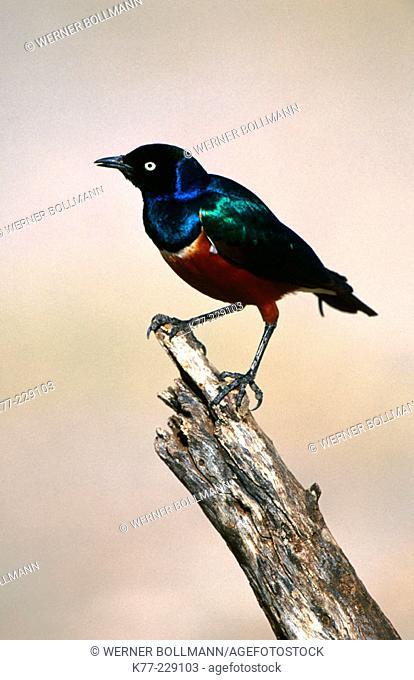 Superb Starling (Lamprotornis superbus). Samburu. Kenia