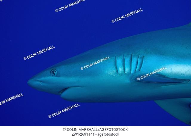 Grey Reef Shark (Carcharhinus amblyrhynchos), Boo Rocks dive site, Boo Island, Misool, Raja Ampat (4 Kings), West Papua, Indonesia