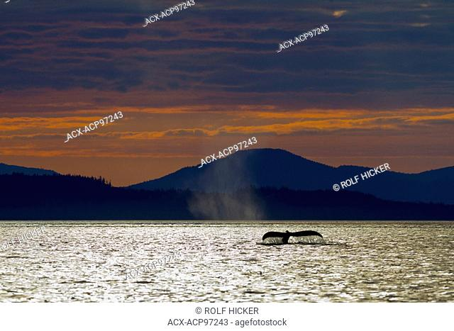 Humpback Whale (Megaptera novaeangliae) shows its fluke during sunset in front of Vancouver Island Mountains, British Columbia, Canada