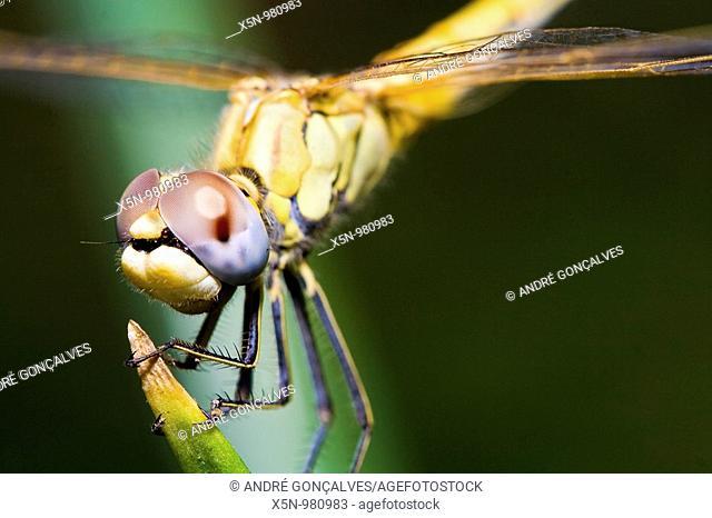 Dragonfly in Alentejo, Portugal