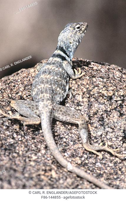 Deser Collared Lizard (Crotaphytus insularis). Joshua Tree NP. California. USA