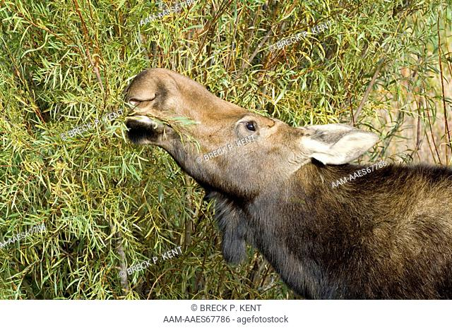 Moose, cow, stripping willow leaves to eat (Alces alces) Grand Teton Nat. Park, Wyoming